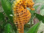 Hippocampus abdominalis (Bigbelly Seahorse) - Terrigal Haven