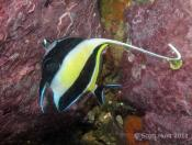 Zanclus cornutus (Moorish Idol) - Terrigal Haven