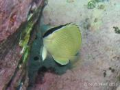 Chaetodon citrinellus (Citron Butterflyfish) - Terrigal Haven