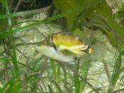 Rhinecanthus rectabgulus (Wedge-tail Triggerfish) - Terrigal Haven