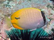 Chaetodon guentheri (Gunther's Butterflyfish) - Big Seal GNS Gutters