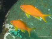 Pseudanthias squamipinnis (Scalefin Anthias) - Big Seal GNS Gutters