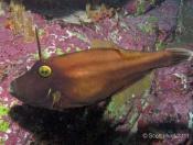 Eubalichthys bucephalus (Black Reef Leatherjacket) - Crab Rock