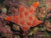 Asterodiscides truncatus (Firebrick Star) - Crab Rock