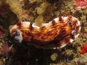 Aphelodoris varia (Variable Aphelodoris) - Boat Harbour Tubes