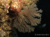Solanderia fusca (Dusky Hydroid) - Foggy Fish