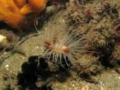 Pachycerianthus delwynae (Banded Tube Anemone) - Pipeline (Right)