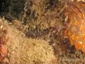 Festucalex cinctus (Girdled Pipefish) - Pipeline (Right)