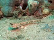 Istigobius hoesei (Sloth Goby) - Fly Point (Right)