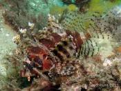 Dendrochirus brachypterus (Dwarf Lionfish) - Fly Point (Right)