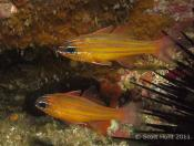 Apogon properuptus (Southern Orange-lined Cardinalfish) - Fish Soup