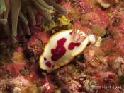 Chromodoris splendida (Splendid Chromodoris) - Fish Soup