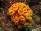 Zoanthids (Order Zoanthidea) - Pimpernel Rock