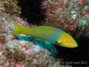 Thalassoma lutescens (Yellow Moon Wrasse) - Outer Anemone Bay