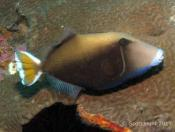 Sufflamen chrysopterus (Yellow-backed Triggerfish) - Outer Anemone Bay
