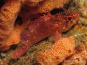 Scorpaenodes scaber (Pygmy Rockcod) - Outer Anemone Bay