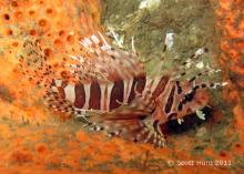 Scorpionfishes (SCORPAENIDAE)